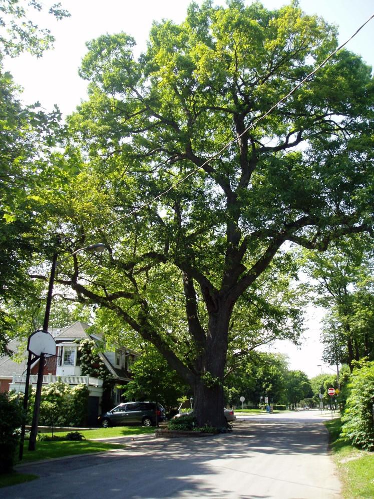 White Oak - Heritage Tree