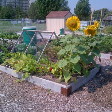 City of Burlington Community Garden - Amherst Park Sunflowers