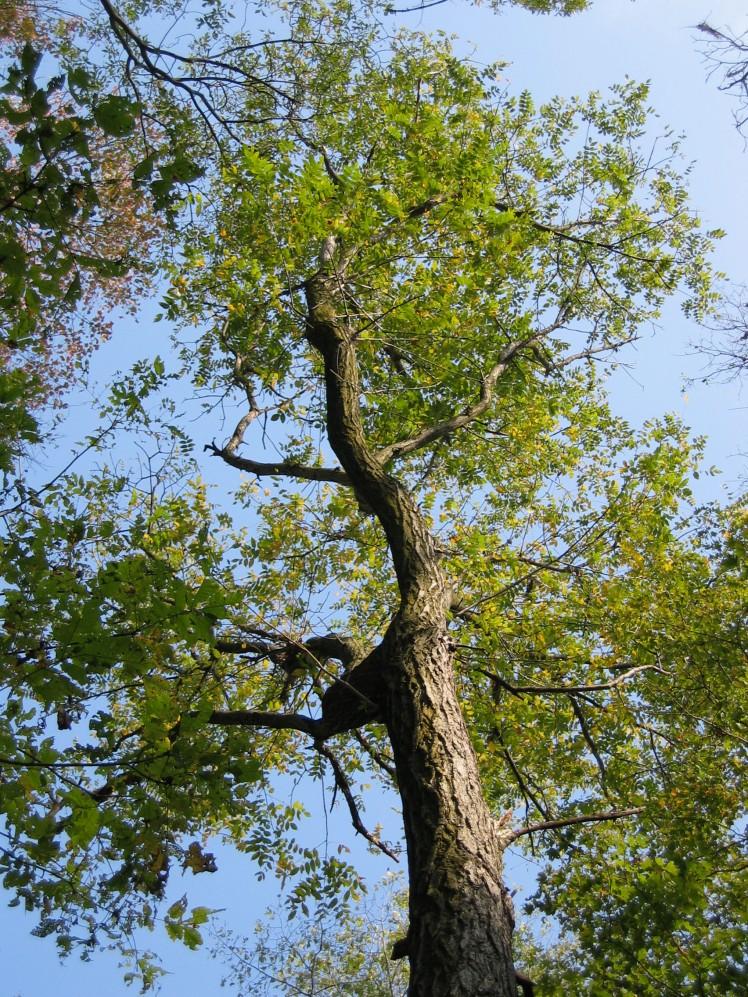 Butternut tree