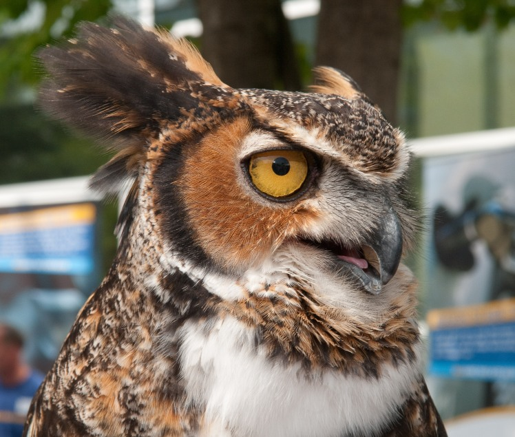 Chomper, a Great-Horned Owl living at Mountsberg