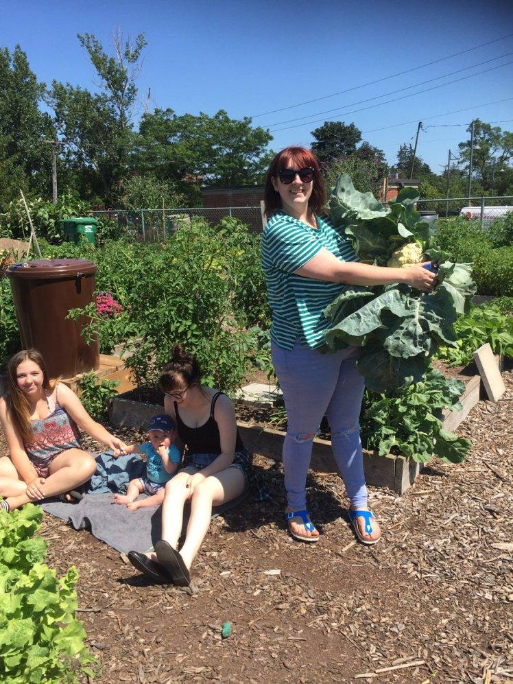 A family event at a Burlington community garden ... harvesting cauliflower.