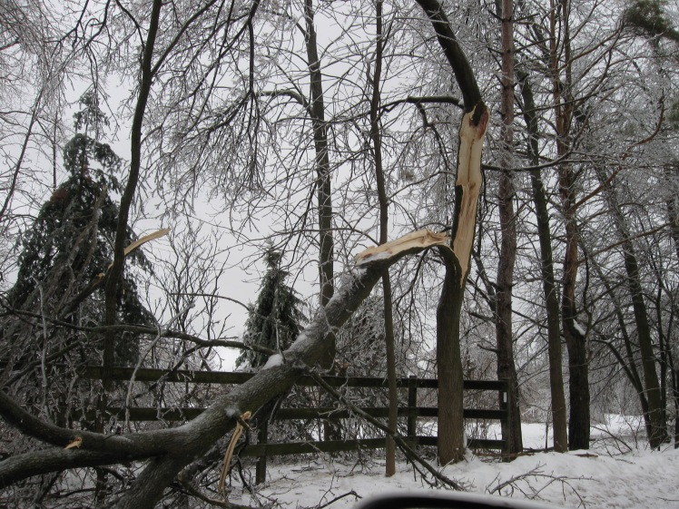 Tree damaged by ice storm