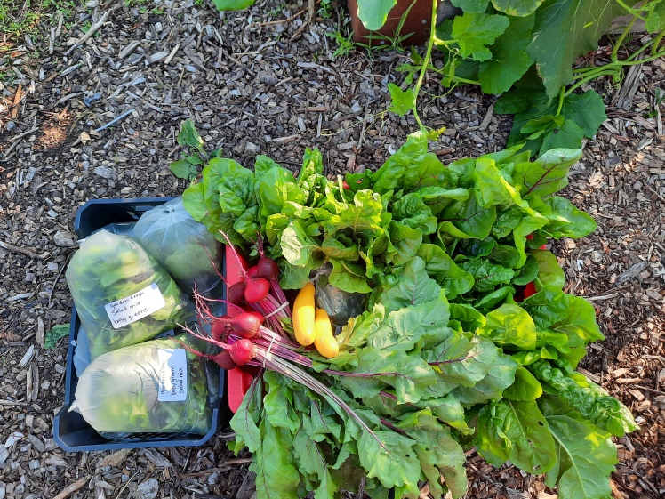 Harvest from the Burlington Food Bank plots at Maple Park Community Garden